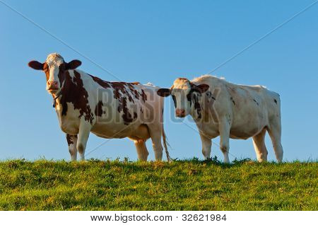 Two Red Spotted Cows Side By Side