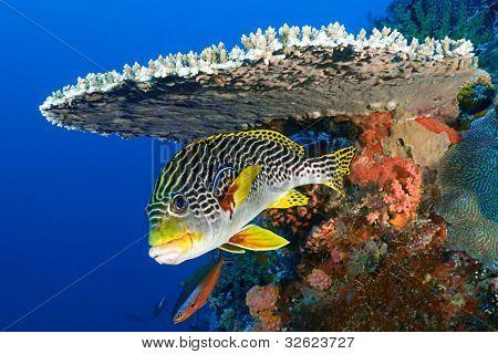 Sweetlips fish, Plectorhinchus orientalis, hiding under hard coral