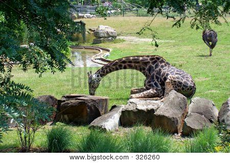 Giraffe Nickerchen