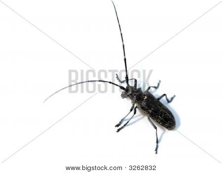 Bug With Long Antenna