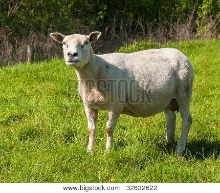 Curiously Looking Female Sheep