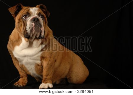 Bulldog Body Portrait