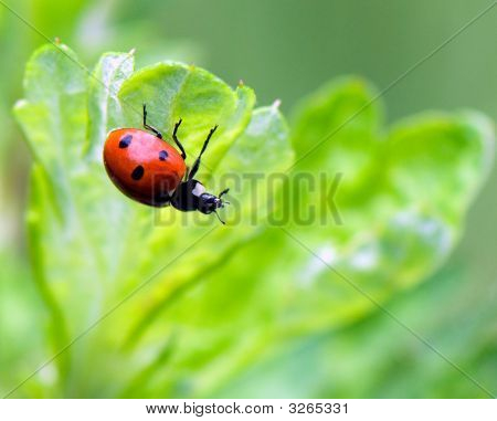 Ladybug Sitting On A Green Grass