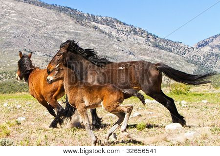 Wild Horses Running In Nevada Spring Mountains