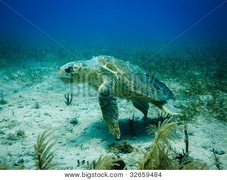 Loggerhead Sea Turtle Swimming Passed Reef