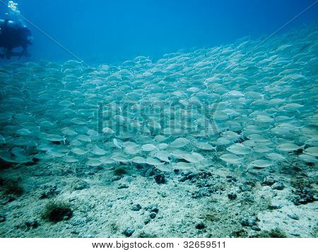 School Of Silver Fish And Diver