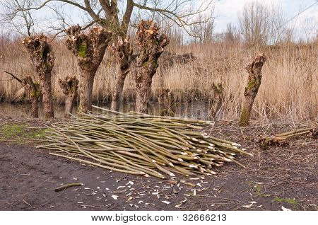 Old Pollarded Willows In A Dutch Nature Reserve