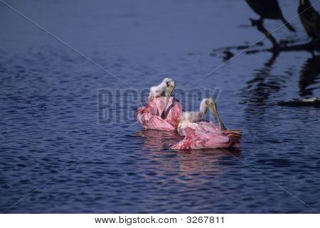 Bird-Roseate Spoonbills