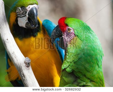 Two Macaw's Perched On A Tree
