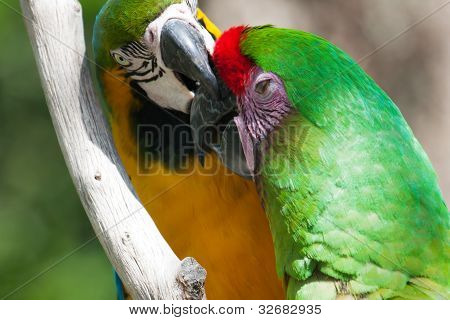 Two Macaw's, One Getting Bit  Perched On A Tree