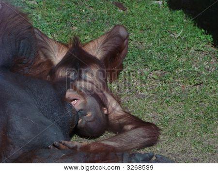 Orangutan Pongo Pygmaeus The Cub Plays With The Father