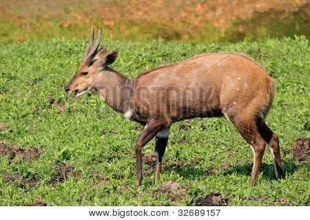 Bushbuck Antelope