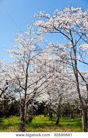 Wald von Kirschblüten