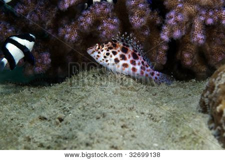 Pixie hawkfish (cirrhitichthys oxycephalus) in the Red Sea.