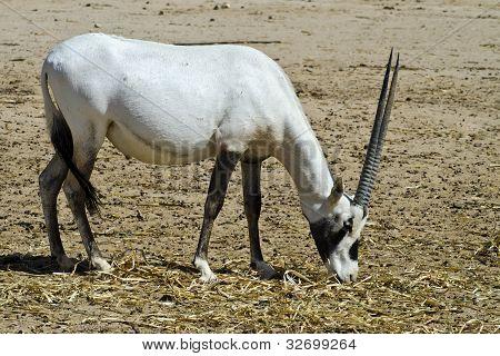 A herbivorous antelope, the Arabian oryx (Oryx leucoryx) in Hai-Bar Yotvata nature reserve, 25 km of