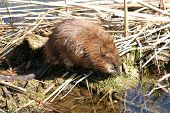 stock photo of muskrat  - A muskrat drinking water from a marsh - JPG