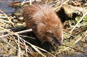 image of muskrat  - A cautious Brown muskrat crossing a marsh - JPG