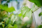 Grape Leaves In Vineyard. Green Vine Leaves At Sunny September Day. Soon Autumn Harvest Of Grapes Fo poster