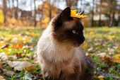 Beautiful Cat Sits Outdoors With An Autumn Leaf On Her Head. Fluffy Siamese Domestic Cat On A Leash  poster