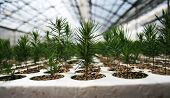 stock photo of planting trees  - Millions of young reforestation seedlings growing in greenhouses.