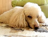 stock photo of standard poodle  - detail of young poodle in living room - JPG