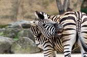 stock photo of rear-end  - A zebra biting his own rear end - JPG