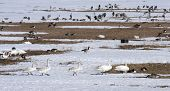stock photo of whoopees  - The family of whooper swan crossing the snow among geese - JPG