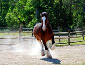foto of clydesdale  - Large Clydesdale in playful mood galloping around ring.
