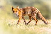 Red Fox (vulpes Vulpes) In Natural Vegetation. This Beautiful Wild Animal Of The Wilderness. Walking poster