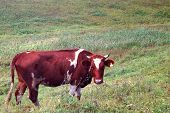 In The Summer, A Brown Cow Eats Green Grass In The Meadow. poster