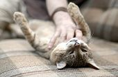 A Cute Big Brown Tabby Cat Lying On The Soft Sofa Lazy While The Hand Scratching His Neck poster