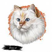 Birman Or Sacred Cat Of Burma Isolated On White Background. Digital Art Illustration Of Hand Drawn K poster