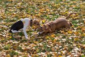 Cute Estonian Hound Puppy And American Staffordshire Terrier Puppy Are Playing In The Autumn Park. P poster