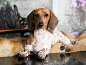 Dachshunds dog, rare color in the dog, Piebald poster