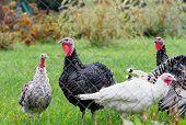 Turkey Breeding Farm. A Flock Of Turkeys On A Farm. Home Turkeys Graze In The Meadow. poster
