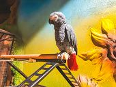 The Grey Parrot With Red Tail, Also Known As The Congo Grey Parrot Or African Grey Parrot. poster