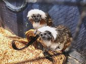 A Cotton Top Tamarins In Closeup, Tropical Critically Endangered Monkey From Colombia In The Cage. poster