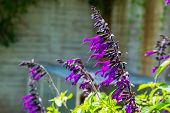 Salvia Amistad, Sage Cultivar Specie From Europe, Herbaceous Plant Specie poster