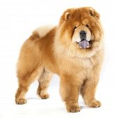 stock photo of chow-chow  - Chines chow chow dog isolated on a white background - JPG