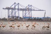Flock Of Pink Flamingos In Atlantic Ocean At Walvis Bay, Namibia, With Large Industrial Cranes Of Wa poster