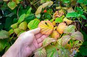 Raspberry Leaves Invited By Rbvd Disease. Autumn Plant Diseases poster
