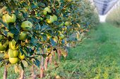 Golden Delicious Apple Tree At The Apple Orchard In August, Serbia poster