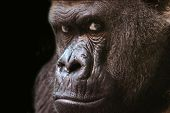 picture of gorilla  - a gorilla stares intently into the camera - JPG
