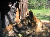 stock photo of rabbit hutch  - The Alsatian dog and rabbits looking closely faces to face - JPG