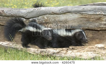 Young Skunks