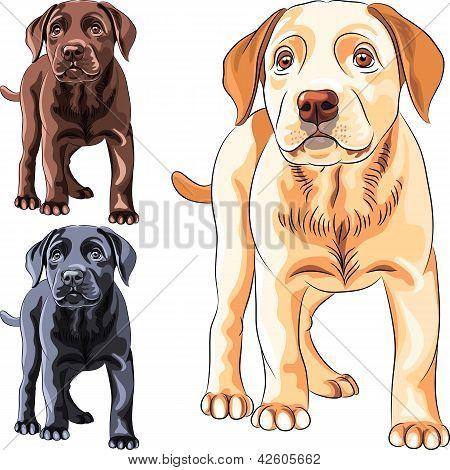 Vector Set cachorro perro raza Labrador Retriever
