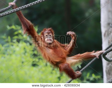 Young male Orangutan