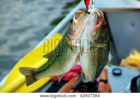two bass closeup