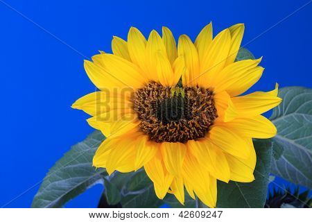 Fresh Sunflower With Blue Sky Background