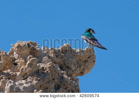 Violet-green Swallow (tachycineta Thalassina) Perching On A Cliff